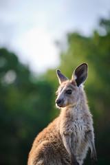 Wild Kangaroos and joeys on open grass land in Gold Coast, Queensland, Australia
