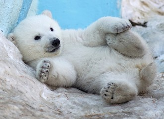 A polar bear cub lies in the snow on its back.