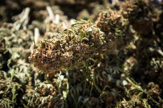 Dried Marijuana Buds After Harvest