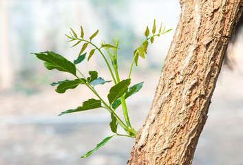 oung Leaves growing out from the branch of Neem Tree. A branch of Azadirachta indica, neem tree showing compound leaves