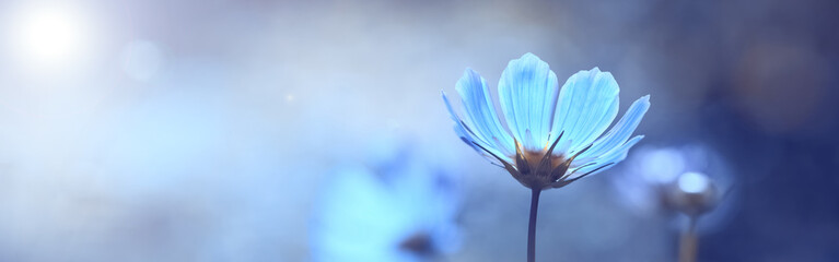 Foto auf Acrylglas Licht blau Blue beautiful flower on a beautiful toned blurred background, border. Delicate floral background, selective soft focus.