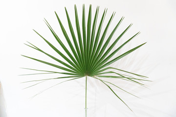 A green palm leaf on white background