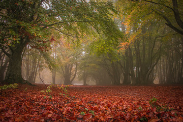 Enchanted forest of Canfaito with fog in autumn season