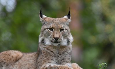 Foto op Aluminium Lynx Retrato de un lince ibérico, tumbado, tranquilamente en la naturaleza.