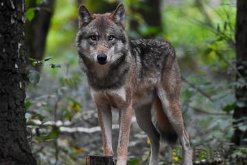 Photo sur Toile Loup Un lobo parado en medio de la naturaleza, observando con una mirada inquietante.
