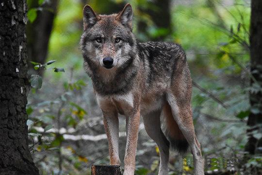Un lobo parado en medio de la naturaleza, observando con una mirada inquietante.