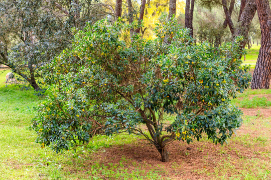 arbutus tree loaded with fruits in the park of the Casa de Campo in Madrid