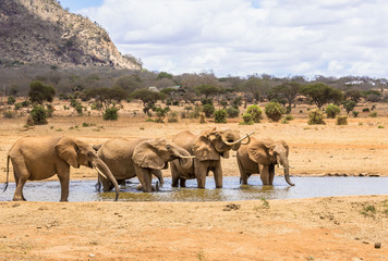 African elephants in Kenya