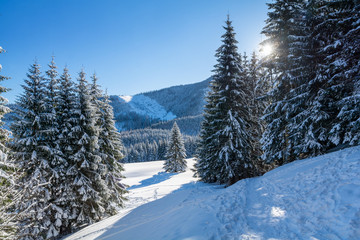 spruce covered fluffy snow in sunny day with blue sky
