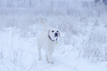 Happy labrador having a day out in nature with deep snow