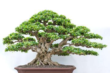 Printed kitchen splashbacks Bonsai bonsai tree isolated on white