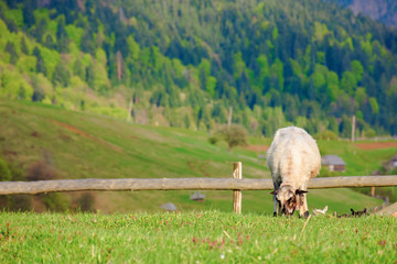 fluffy goat grazing on a mountain meadow.  fresh green grass near the wooden fence. distant ridge with snow capped tops. wonderful rural landscape in springtime.