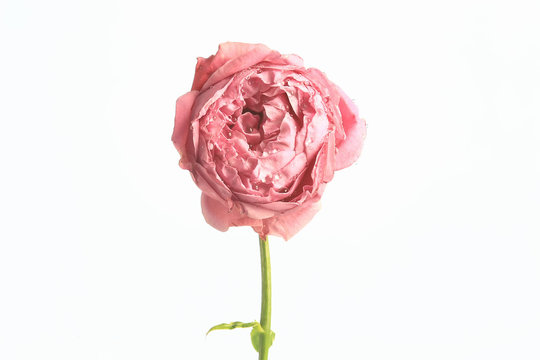 rose white background / isolated bud of red rose flower