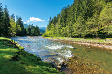 rapid mountain river in spruce forest. wonderful sunny morning in springtime. grassy river bank and rocks on the shore. waves above boulders in the water. beautiful nature scenery Fototapete