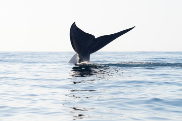 Blue Whale Tail Diving Down