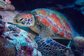 sea turtle underwater / exotic nature sea animal underwater turtle