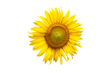 Flower, sunflower isolated on white background. Sunflower with seed. Save with clipping path.