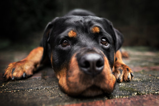 rottweiler dog lying down outdoors close up