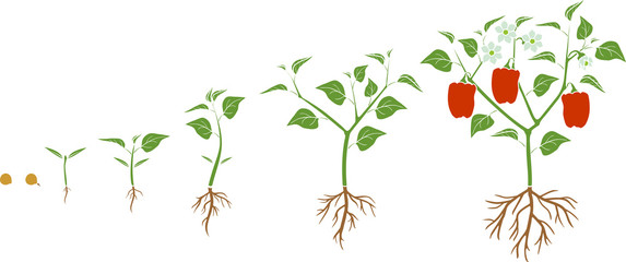 Life cycle of pepper plant. Growth stages from seed to flowering and fruiting plant with ripe red peppers isolated on white background
