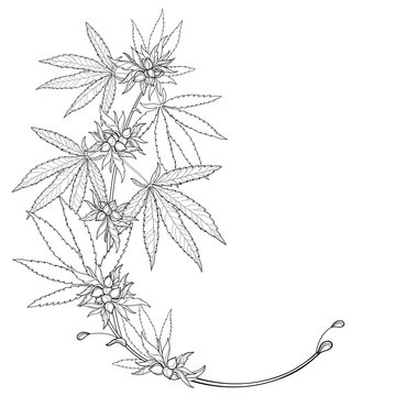 Outline Cannabis sativa or Cannabis indica or Marijuana bunch. Corner branch, leaf and seed in black isolated on white background.