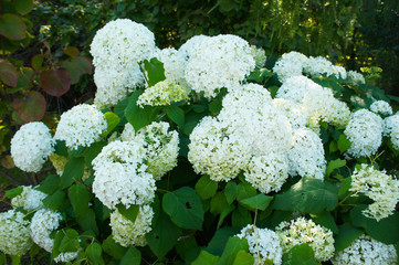 Zelfklevend Fotobehang Hydrangea Srub of hydrangea paniculata silver dollar white flowers