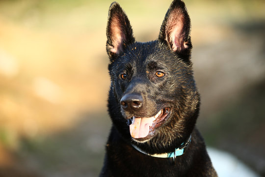Black shepherd dog with collar at countryside