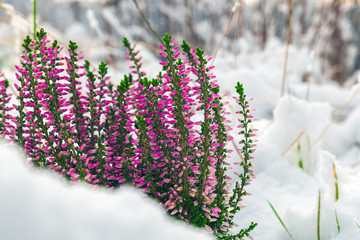 beautiful winter landscape, the onset of winter, the change of seasons and the first snow. green and dried grass with a beautiful bright pink flower Heather zazalo the first snow. flowering Heather.