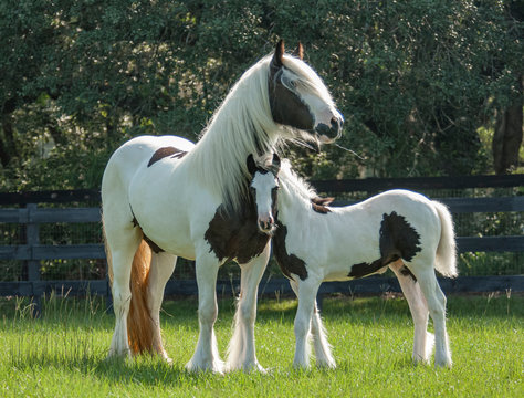 Gypsy horse mare and foal touch