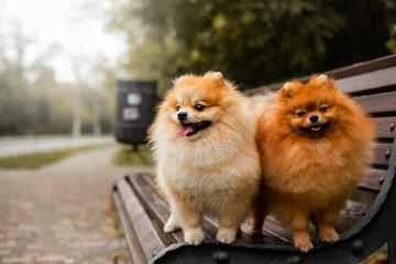 Red dog pomeranian spitz autumn