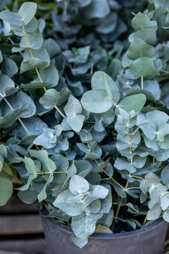 Fresh cut branches of Eucalyptus baby blue plant at the greek flowers shop in October.