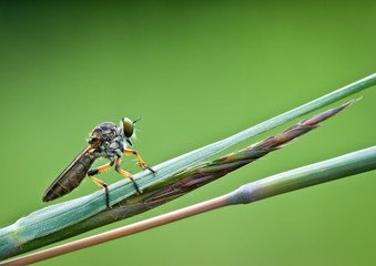 Robber fly (Asilidae family) perched on grass blade, waiting to fly up and snatch prey.  Wall mural
