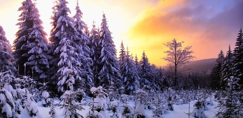 Tuinposter Aubergine Beautiful scenic winter landscape with the snow covered spruce trees,mountain forest at winter evening, sunset,sunlight, sky and clouds, relaxing nature. Can be used as christmas photo, panoramic. .
