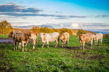Vaches dans le pré en Automne