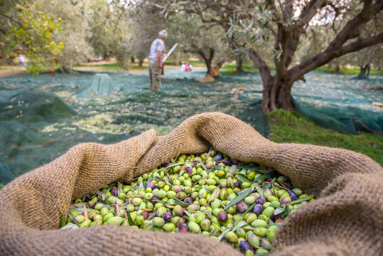Harvested fresh olives in sacks in a field in Crete, Greece for olive oil production, using green nets.