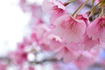 Photo sur Plexiglas Rose banbon Cherry blossom, spring has come