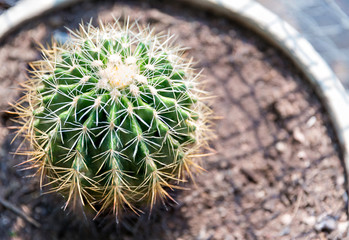 Photo sur Aluminium Cactus Goloden Echinopsis calochlora cactus. Desert plant. Group of small cactus in the pot . Selective focus close up shot group of small round shape cactus.