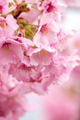 桜の花 春イメージ