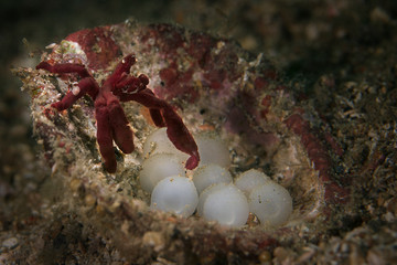 Orangutan Crab (Achaeus japonicus) near eggs of Flamboyant cuttlefishes ( Metasepia pfefferi).  Underwater macro picture from diving in Lembeh Strait, Indonesia