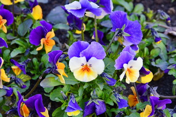 Foto op Aluminium Pansies Beautiful violets of different flowers