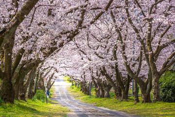 Foto op Plexiglas Kersenbloesem 桜のアーチ 春イメージ