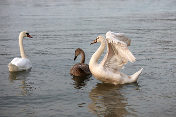 The white swan scares off intruders from its young