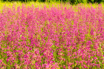 Photo sur Plexiglas Rose banbon Field of colorful pink flowers in the field