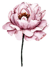 Dusty pink flower peony watercolor, floral clip art. Perfectly for printing design on invitations, cards, wall art and other. Isolated on white background. Hand painting.