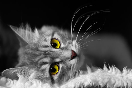 White and black image of cat with yellow and green eyes lying on soft white fur on black background, horizontal closeup view with head