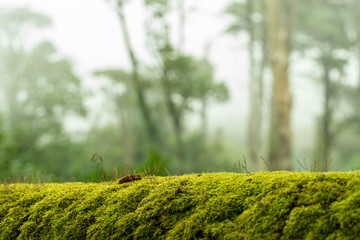 green moss on bark tree in forest. trees on background. foggy weather. background of moss for wallpaper. macro close view.