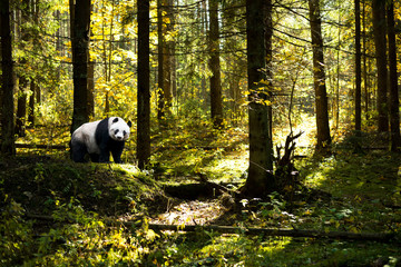 Fotorollo Pandas panda at forest