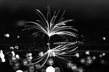 dandelion seeds black background concept lightness