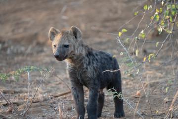 Fotobehang Hyena hyena cub in South Africa