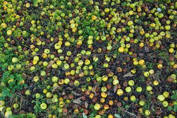 Wild Apples Fresh and Putrid Background