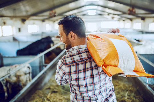 Rear view of handsome caucasian farmer in plaid shirt and jeans carrying sack with animal food over shoulder while walking in stable.